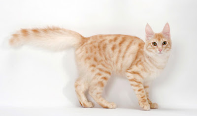 Turkish Angora Tabby