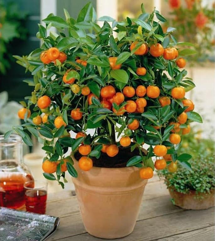 Bibit Benih Seeds Buah Jeruk Manis Mandarin Ponkam Isi 10 Biji Jawa Tengah
