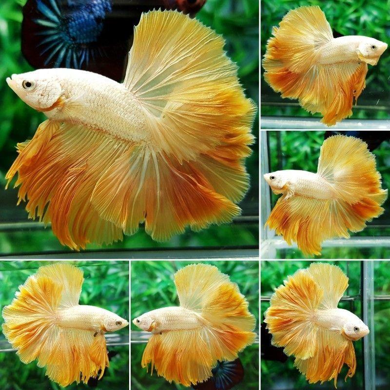 Image About Yellow Betta Fish