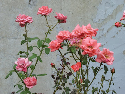 門真市・弁天池公園 バラの花壇