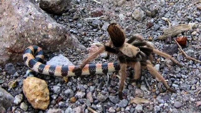 Tarantula Bisa Memakan Ular