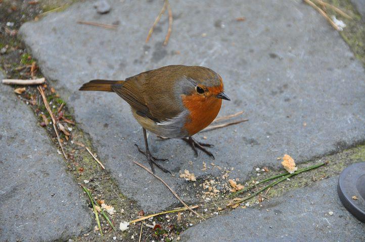 Burung Robin Kini Sudah Jarang Ditemukan Di Indonesia Simalaba