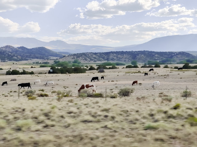 Colorado cattle off the road arid plains cows bulls little grass