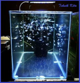 Ternak ikan molly di aquarium
