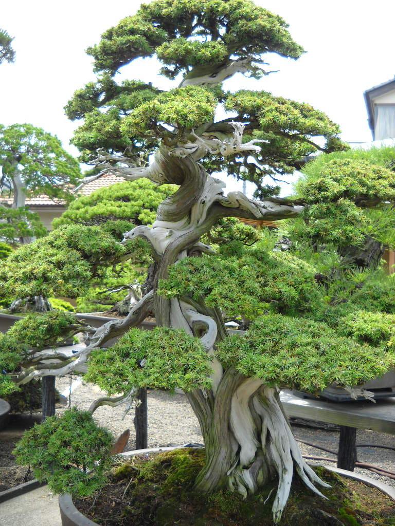 Daily Glimpses Of Japan: Bonsai Garden, Omiya, Saitama
