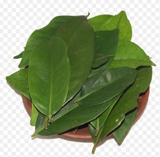 daun salam, khasiat daun salam, manfaat daun salam untuk diabetes, khasiat daun salam untuk diabetes, manfaat daun salam untuk jantung rambut kanker pencernaan, khasiat dan manfaat daun salam, manfaat daun salam