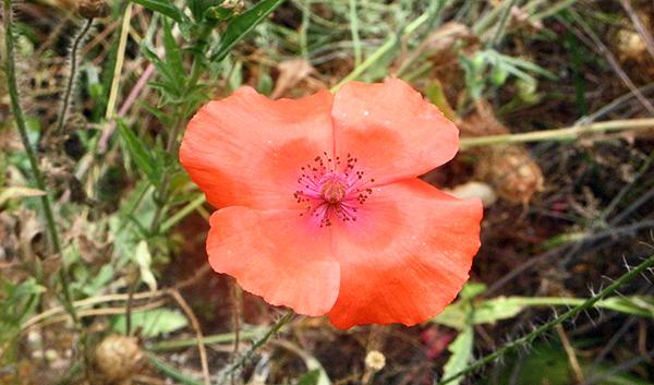 light apricot poppy