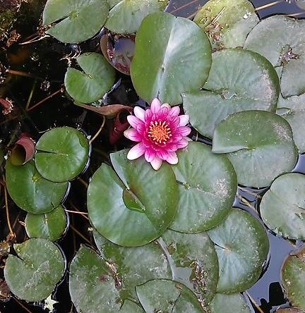 山東省にある家の庭池に咲く蓮の花