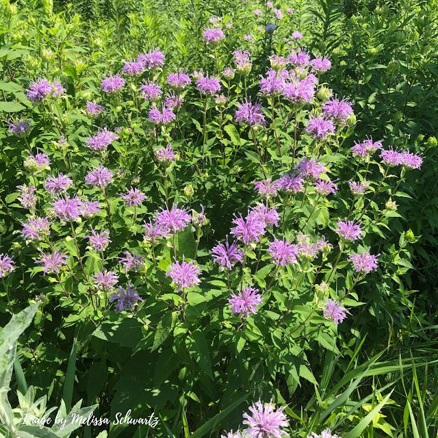 Wild bergamot added a blaze of color to the prairie.