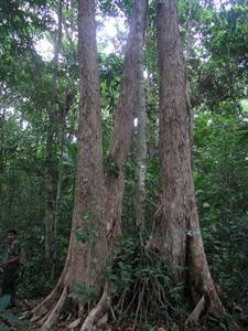 Syzygium travancoricum