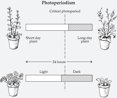 photoperiodic classification