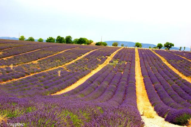 I campi di Lavanda in provenza