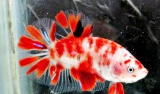 Gambar Ikan Cupang Koi
