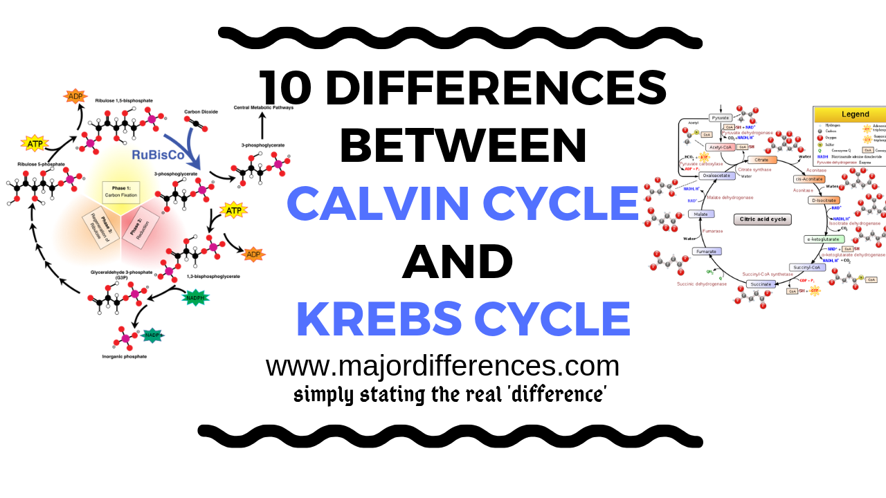Calvin cycle vs Krebs cycle difference