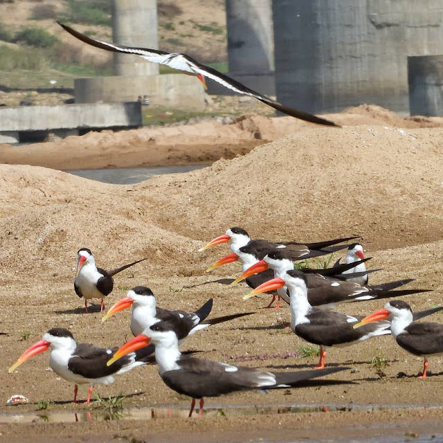 chambal indian skimmers