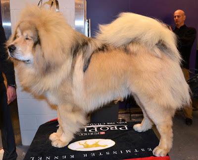 Fluffy Dog Breeds, Big fluffy dogs