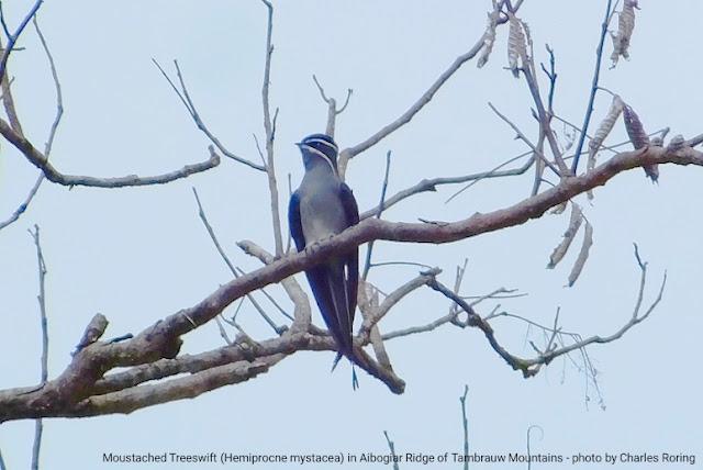 Birding in Ayapokiar of Tambrauw regency