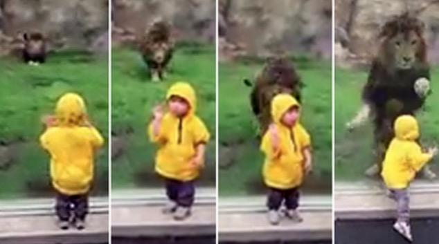 Budak Hampir Diterkam Singa