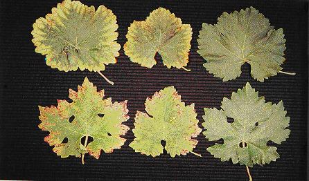 Gambar Defisiensi Posfor pada daun anggur