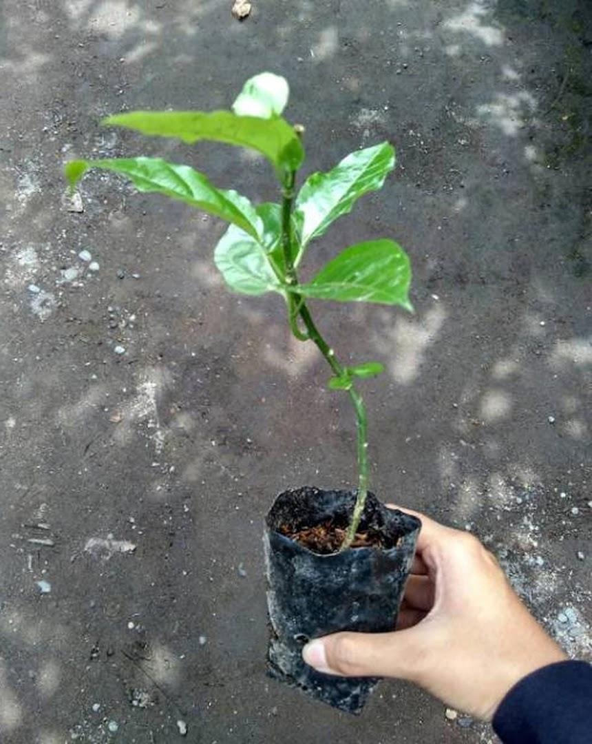 Bibit apel merah cangkok Jawa Timur