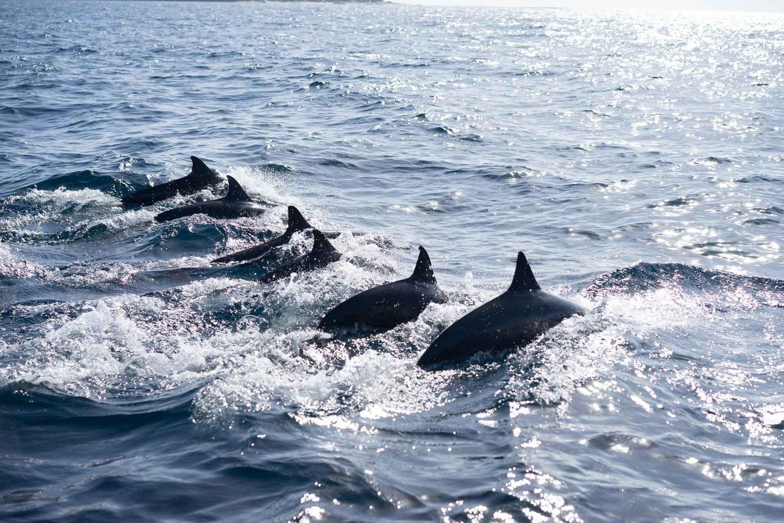 A family of dolphins swimming together.