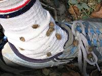 Birinin çorabına yapışmış dikenli pıtırak tohumları