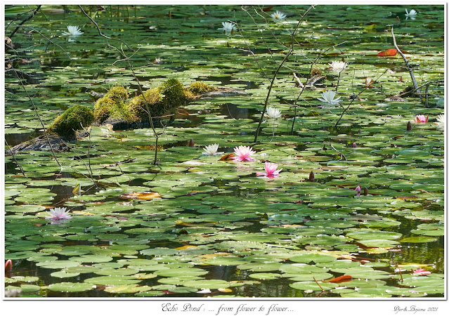 Echo Pond: ... from flower to flower...