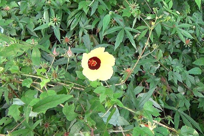 Dlium Bush sorrel (Hibiscus surattensis)