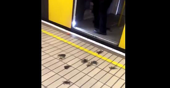 Invasão de caranguejos em estação de metrô na Inglaterra