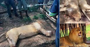Львы были убиты ради лап и голов, которые используют в колдовских ритуалах