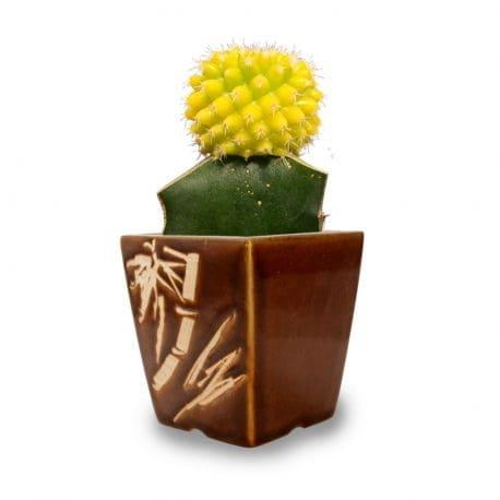 Tanaman Hias Daun Yellow Rays Cactus