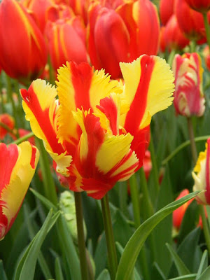 Flaming Parrot Tulip at 2017 Centennial Park Conservatory Spring Flower Show by garden muses-not another Toronto gardening blog