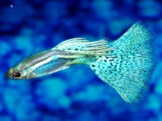Dunia Ikan Hias - Ikan Air Tawar Guppy