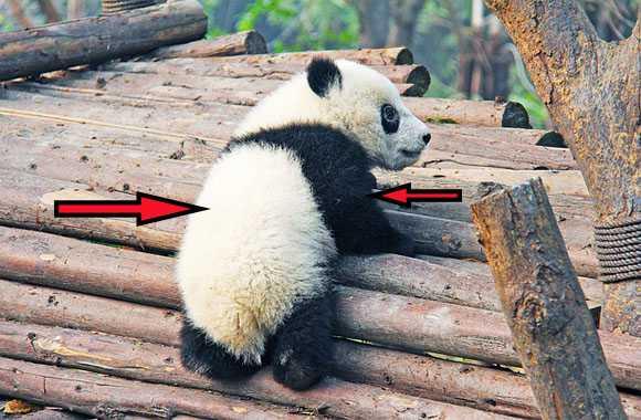 keunikan hewan panda