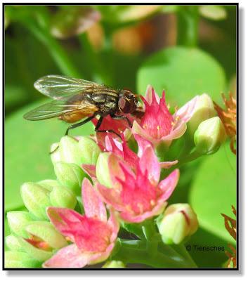 Fette Henne mit Fliege