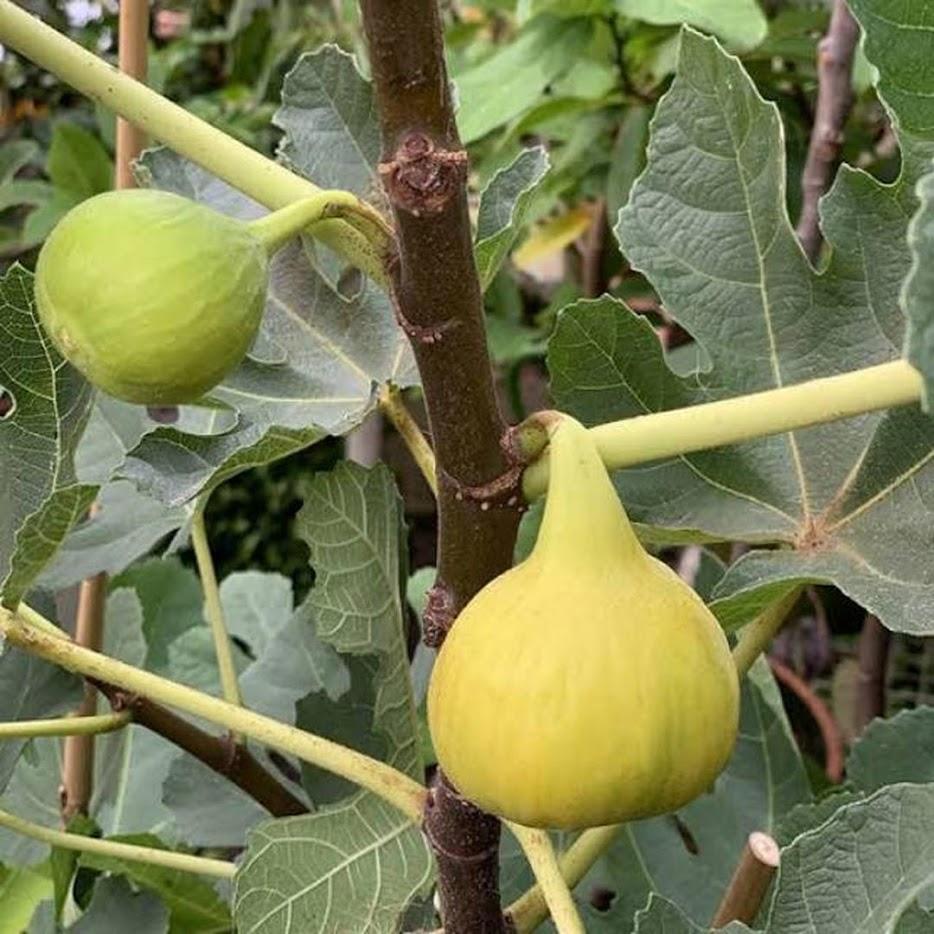 Bibit buah tin buah surga buah ara lonjong Long Yellow cangkok cepat berbuah Depok