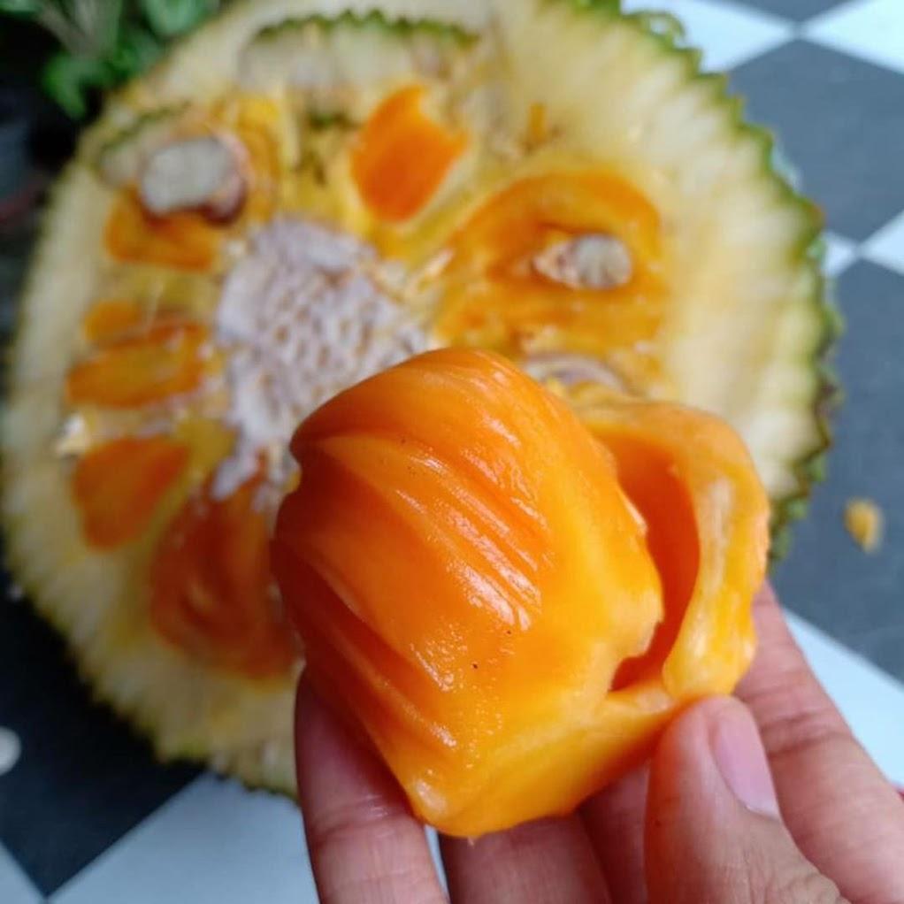 Biibit Nangka Mini buah kecil dan lucu cocok buat tabulampot tanaman dalam pot Banten
