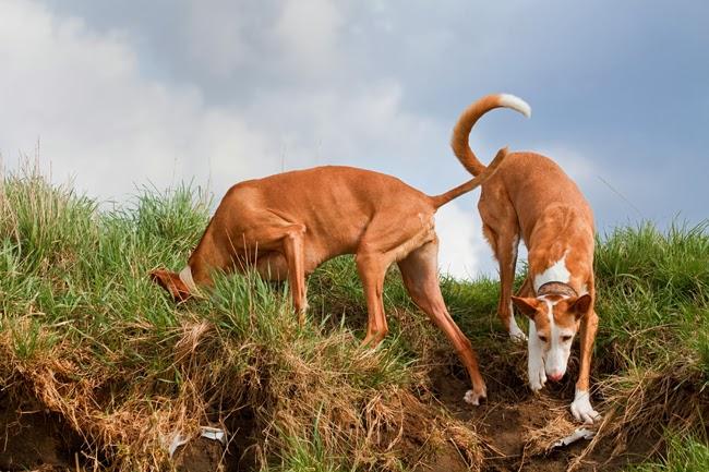 Dlaczego psy zakopują różne rzeczy