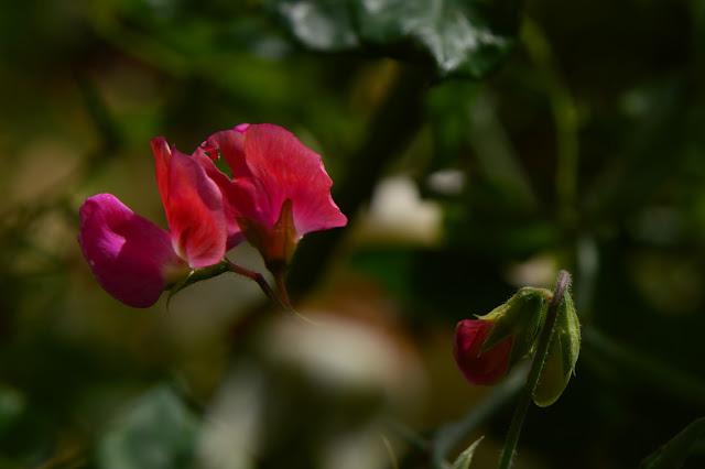sweet pea, lathyrus, old spice, amy myers, small sunny garden, desert garden,