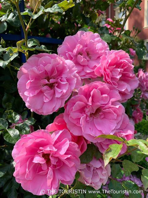 Pink roses on a rose bush.