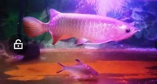 Cara perawatan Ikan Arwana