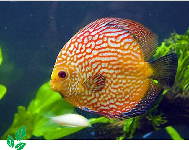 Jenis Ikan Discus