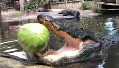 Buaya makan semangka