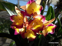 Yellow-purple orchids, Foster Botanical Garden - Honolulu, HI
