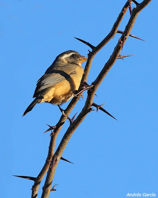 Golden billed Saltator