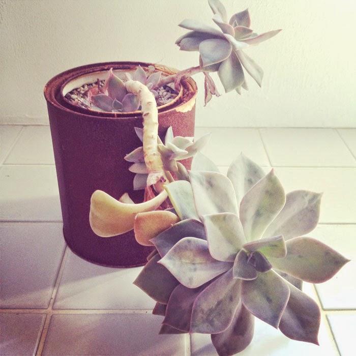 タイル床の上の錆びたペンキ缶に植えたエケベリア科の多肉植物