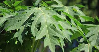 manfaat daun pepaya muda