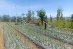 Babinsa Koramil 26/Grong-grong Dampingi Petani Agar Hasil Panen Meningkat