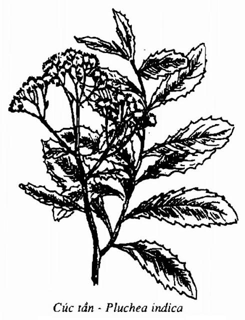 Hình vẽ Cúc Tần - Pluchea indica - Nguyên liệu làm thuốc Chữa Cảm Sốt