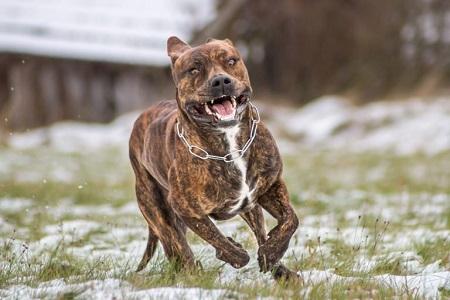 Dünyanın En İyi 5 En Tehlikeli Köpek Irkları